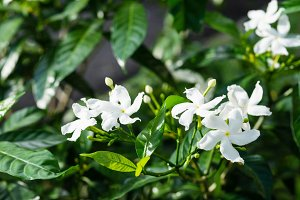 Jasmine flower closeup with leaves