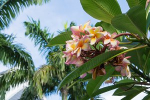 Frangipani flowers and palm