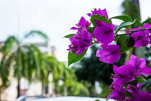 Bougainvillea and palms