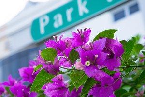 Bougainvillea flowers street view