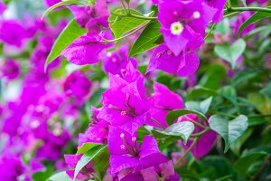 Bougainvillea flowers closeup