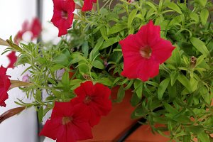 Red petunia on pot