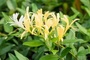 Lonicera japonica or Japanese honeysuckle yellow flower in Singapore