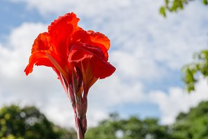 Red Cannaceae flower with blue sky background