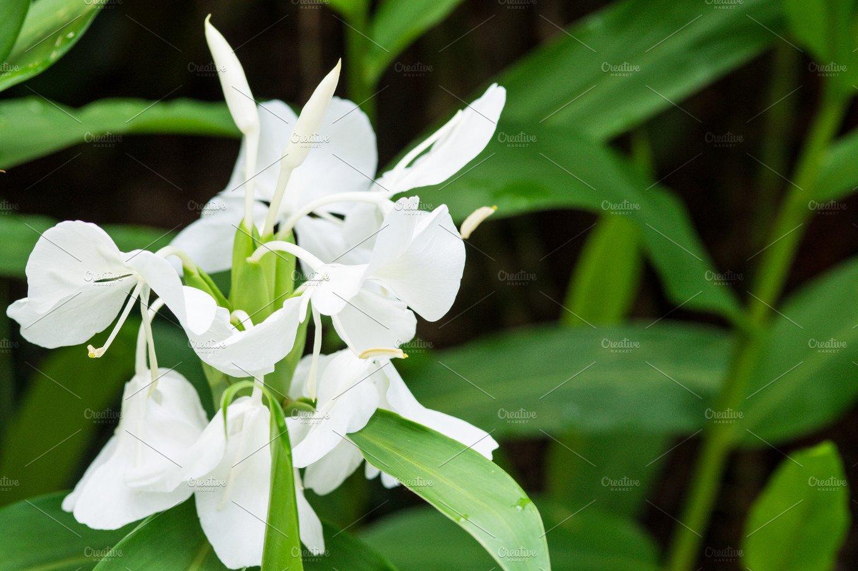 White Ginger Lily Hedychium Coronarium Flower In Singapore Nature