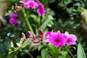 Dendrobium mozah bint nasser al-missned orchid flower in Singapore