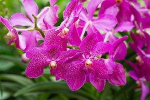 Aranda bandarayaku orchid flower in Singapore