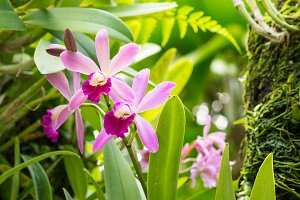 Pink orchid flowers in Singapore