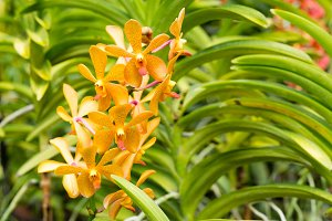 Aranda lumberger gold orchid flower in Singapore