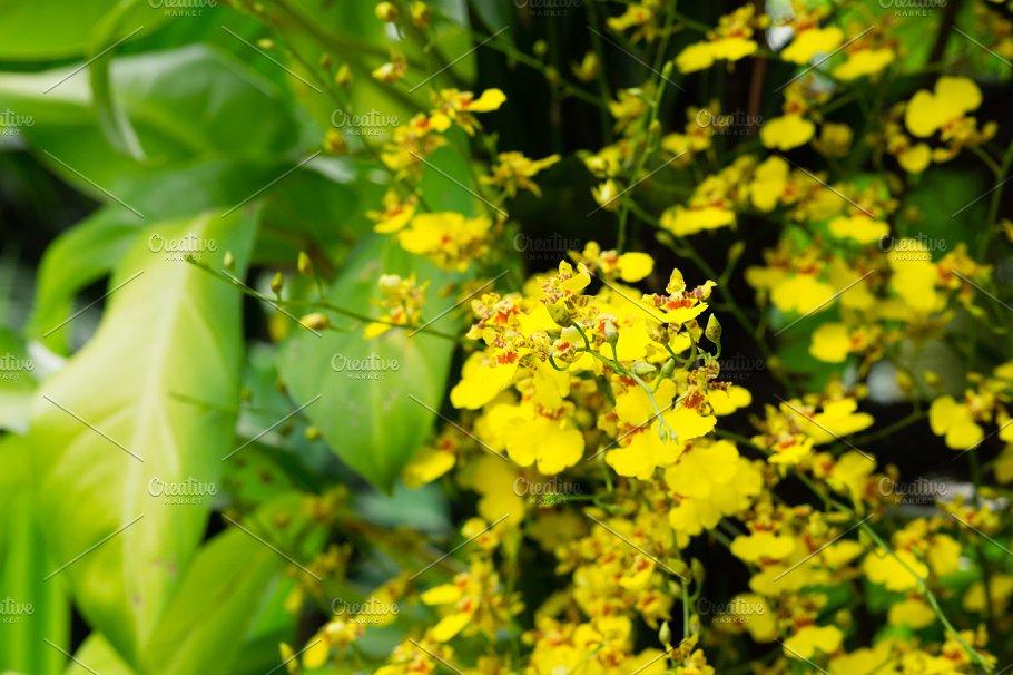 Closeup of Golden shower flower - Nature