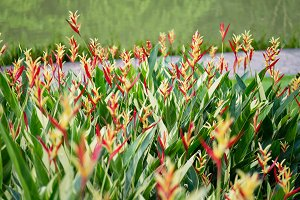 Heliconia psittacorum flower in Singapore