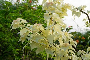 Tropical Bougainvillea vine with white variegated foliage