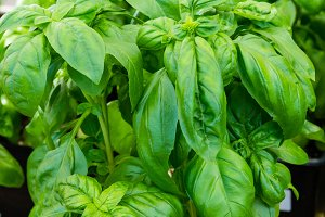 Basil herb plant in container