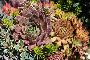 Sedum plants for use on eco roof