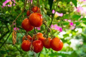 Red ripe cherry tomatoes