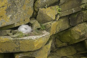 Fulmar Chick on cliffs