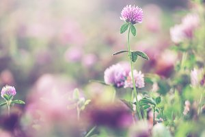 wild meadow pink clover