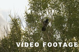 Crow pecks a branch on the tree - slowmo 180 fps