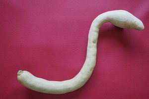 snake shaped pumpkin over bordeaux red