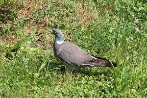 wood pigeon bird animal