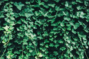 Wall of Green Ivy