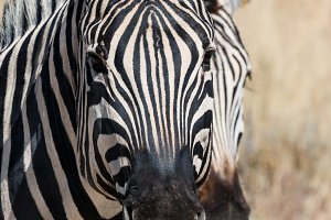 Two zebra heads