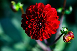 Red flower of Dahlia.