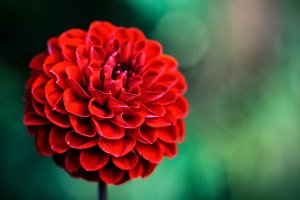 Abstract background with red dahlia.