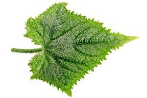 Cucumber leaf isolated on white background