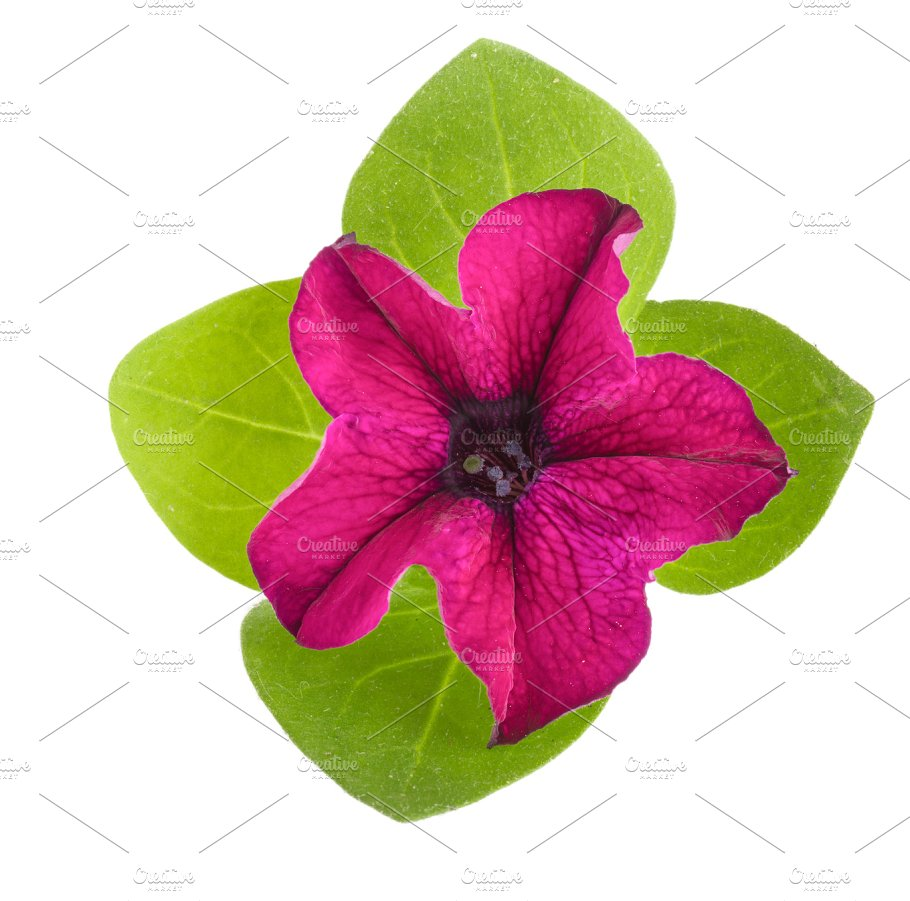 Pink Flower Of Petunia With Green Leaves Isolated On White