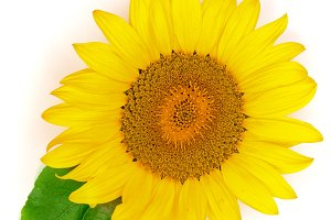 sunflower with leaves isolated on white background close-up. Top view