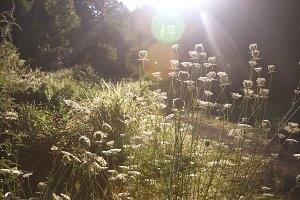 Queen Anne's Lace in Morning Sun