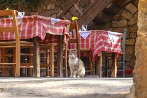 Cat waiting for guests in restaurant