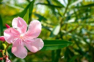 Nerium Oleander Flower