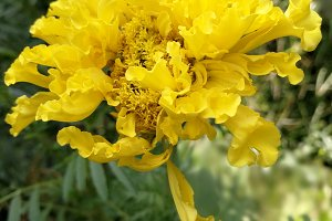 Yellow tagetes in the garden