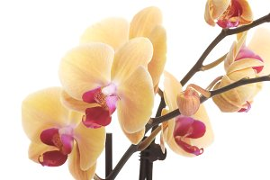 Yellow fresh orchid flower.