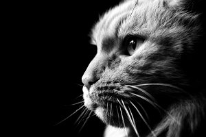 Portrait of a cat in black and white