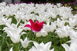 Red tulip inside white tulips