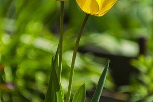 Two yellow tulips.