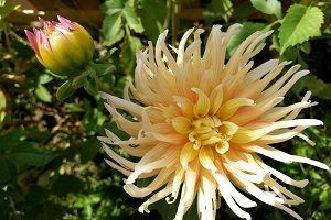Dahlia and blossom