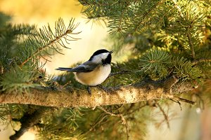 little bird singing