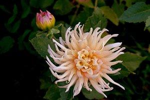 Dahlia and blossom