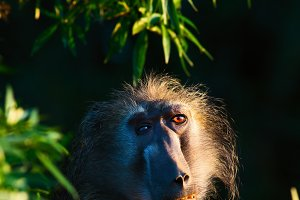 A special baboon!