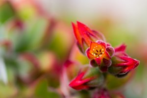 Echeveria flower macro