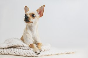 Domestic small cute toy terrier