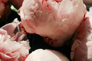 Summer Peony Stock Photo