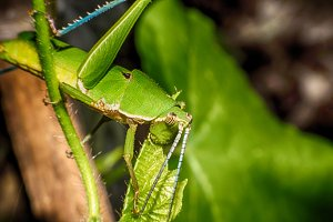 The Grasshopper sits on a leaf