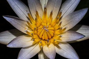 Macro shot white lotus