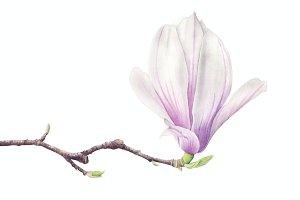 Magnolia Watercolor Illustration