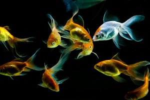 Goldfishes in black background